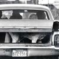 A dog standing in the trunk of a car